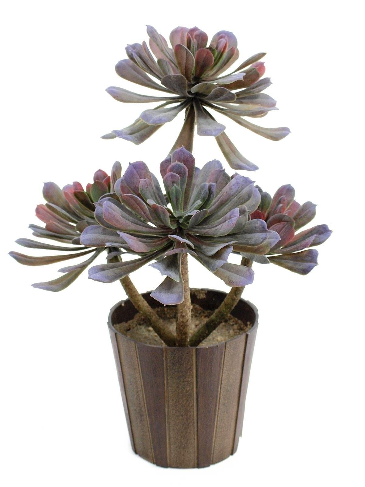 Succulent Aeonium, 30cm
