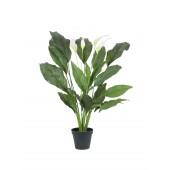Spathiphyllum deluxe, 80cm