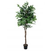 Ficus Multistam, 210cm