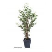 Ficus boom deluxe, 240cm
