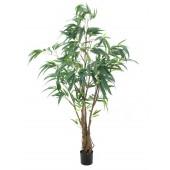 Ficus Longifolia , dikke stam, 180cm