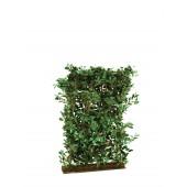 Ficus Haag, 90x130cm