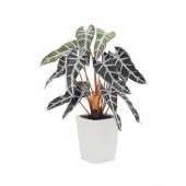 Caladium plant, rood/groen, 35cm