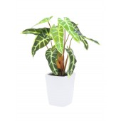 Caladium plant, geel/groen, 35cm