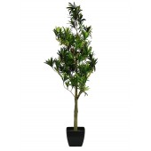 Podocarpus 90cm