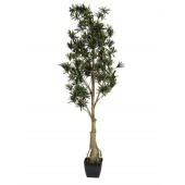 Podocarpus 150cm
