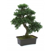 Bonsaiboom buxus, 61cm