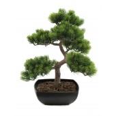 Pinus bonsai 50cm