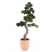 Pinus Bonsai, 165cm