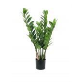 Zamifolia, 70cm