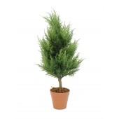 Cypress, 60cm